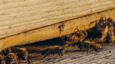 infestation of bees for pest control sacramento