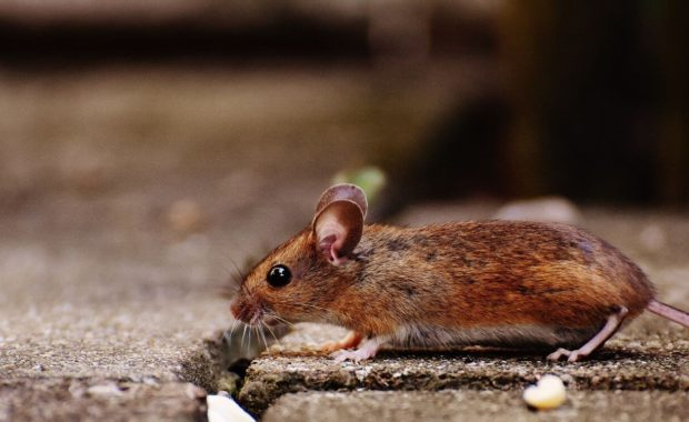 rodent being targeted by a pest control company in san diego
